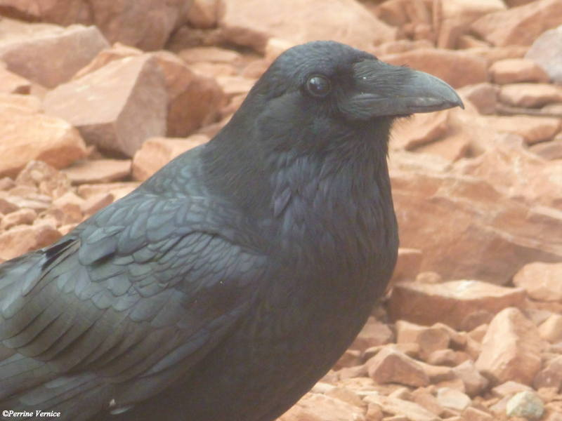 Corbeau au grand Canyon